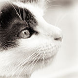 Baby Cat Black And White Stock Image
