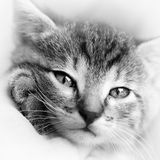Baby Cat Black And White Stock Photo