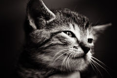 Baby Cat Black And White Royalty Free Stock Photo