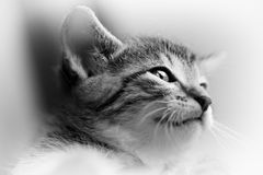 Baby Cat Black And White Royalty Free Stock Photos