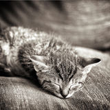 Baby Cat Black And White Royalty Free Stock Photography