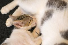 Baby cat drinking milk from her mother Royalty Free Stock Image