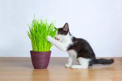 Baby cat eating wheatgrass or cat grass Royalty Free Stock Photography