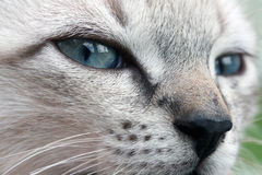 Baby cat. With intense blue eyes Royalty Free Stock Images