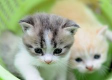 2 baby cat kitty in basket. 2 kitty in basket with green background, 2 or 3 months old Stock Photography