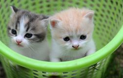 2 baby cat kitty in basket. 1  kitty in basket with green background, 2 or 3 months old Stock Images