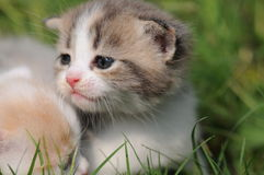 2 baby cat kitty in grass. 2  kitty in hand with green background, 2 or 3 months old Royalty Free Stock Image