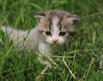 1 baby cat kitty in green grass. 1  kitty in  grass  2 or 3 months old Stock Photo