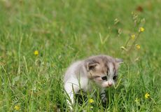 1 baby cat kitty in green grass. 1  kitty in  grass  2 or 3 months old Stock Photos