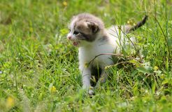 1 baby cat kitty in green grass. 1  kitty in  grass  2 or 3 months old Royalty Free Stock Image