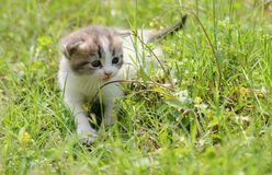 1 baby cat kitty in green grass. 1  kitty in  grass  2 or 3 months old Royalty Free Stock Photo