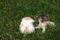 2 baby cat kitty in green grass Royalty Free Stock Image