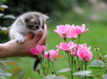 1 baby cat kitty in hand Royalty Free Stock Photos