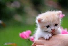 1 baby cat kitty in hand. 1  kitty in hand with green background, 2 or 3 months old, with red rose Royalty Free Stock Photography