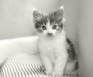 Baby cat kitty. Sit in sofa,2 month old Stock Images