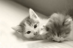 Baby cat kitty sleeping and play. In sofa,2 month o Royalty Free Stock Photography