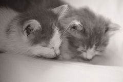 Baby cat kitty sleeping. In sofa,2 month old Stock Images