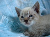 Baby cat lying on a blue blanket stock images