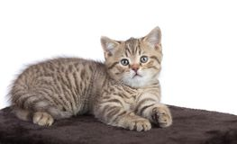 Baby cat lying on brown carpet Royalty Free Stock Images