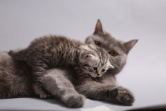 Baby cat with mother cat. Newly born British Shorthair kitten and his mother playing stock photography