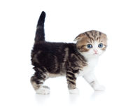 Baby cat one month old Royalty Free Stock Images
