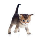 Baby cat one month old walking on white Royalty Free Stock Photo