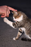 Baby cat playing with human hand Royalty Free Stock Image