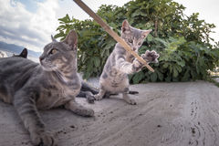 Baby cat playing with a stick Royalty Free Stock Images