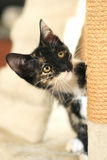 Baby Cat Sitting on Play Tower in Natural Light Stock Images