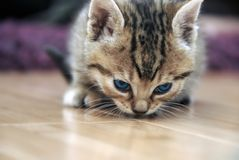 Baby cat sniff Royalty Free Stock Images
