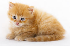 A baby cat in studio. A beautiful red baby cat photographed in studio Royalty Free Stock Photography