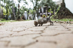 Baby cat walking Royalty Free Stock Image
