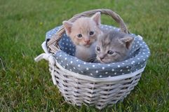 Baby cats on a basket. Each cat in a colony holds a distinct territory, with sexually active males having the largest territories, which are about 10 times Royalty Free Stock Images