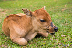 Baby cattle. Lying on green grass royalty free stock photo