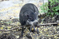 Baby Cebu pig. In the forest Stock Image
