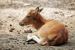 Baby Cervus elaphus Stock Image