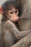 Baby chachma Pavian, der seine Mutter in Kruger-Park säugt stockbild