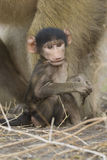 Baby Chacma Baboon chewing on a stick. Botswana Stock Photography