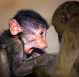 Baby Chacma baboon close-up Royalty Free Stock Photography