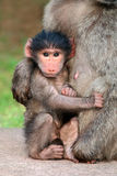 Baby chacma baboon Stock Images