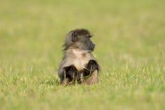 Baby chacma baboon Royalty Free Stock Image