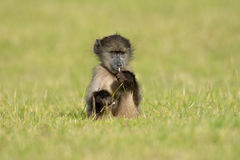 Baby chacma baboon Stock Photography