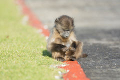 Baby chacma baboon Royalty Free Stock Images