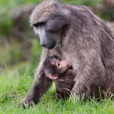 Baby Chacma Baboon with mother Royalty Free Stock Photo