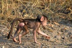 Baby Chacma baboon (Papio ursinus) Royalty Free Stock Image