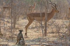 Baby Chacma-Pavians (Papio ursinus) mit Impala im Hintergrund Stockfoto