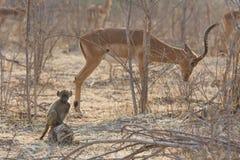 Baby Chacma-Pavians (Papio ursinus) mit Impala im Hintergrund Lizenzfreie Stockfotos