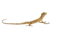 Baby chameleon Stock Images