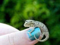 Baby Chameleon 1 Stock Image