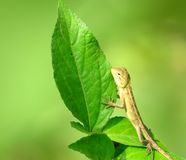 Baby chameleon holding a green leaf Royalty Free Stock Image